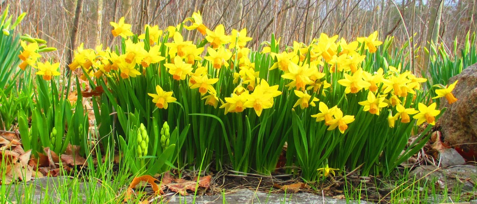 Daffs April 22 2017