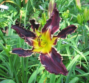 Bonibrae Daylilies 4