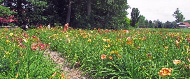 Bonibrae Daylilies 7
