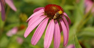 Bug on purple echinacea (2)