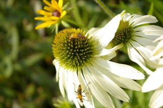 bugs on white echinacea