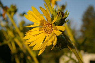 Compass Plant, August 19, 2011