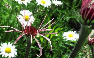 Echinacea pallida July 2 2017