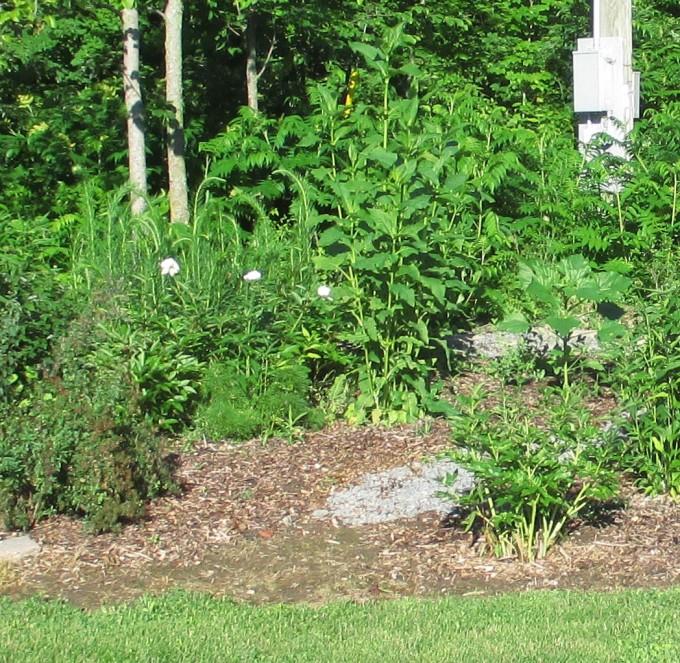 Silphium perfoliatum July 23 2017