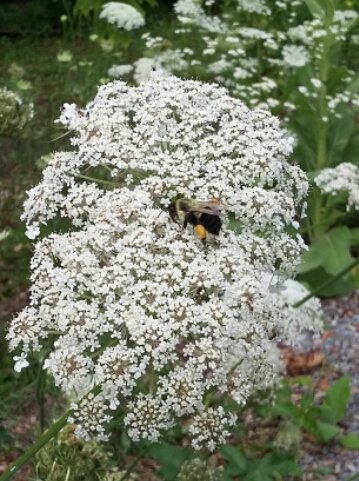 bee in Queen Anne's Lace