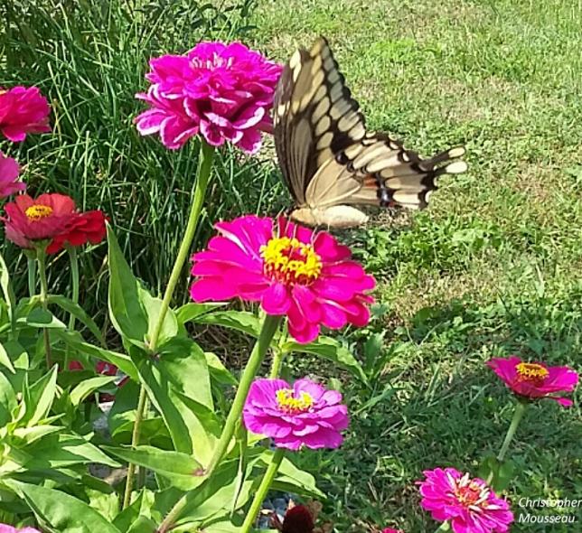 Butterfly & Zinnia cm