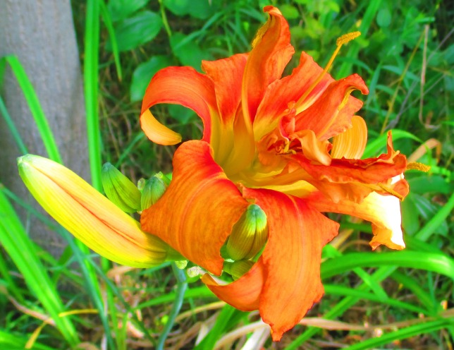 double orange daylily August 12 2017