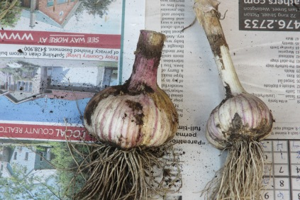 Garlic - with and without scape removed...