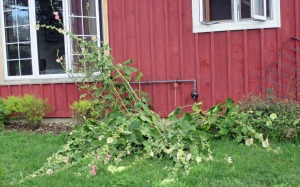grounded Hollyhocks August 5 2017