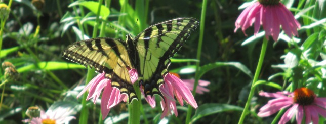 July 29 2017 Butterfly & Echinacea