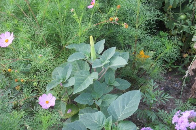 micro garden Datura