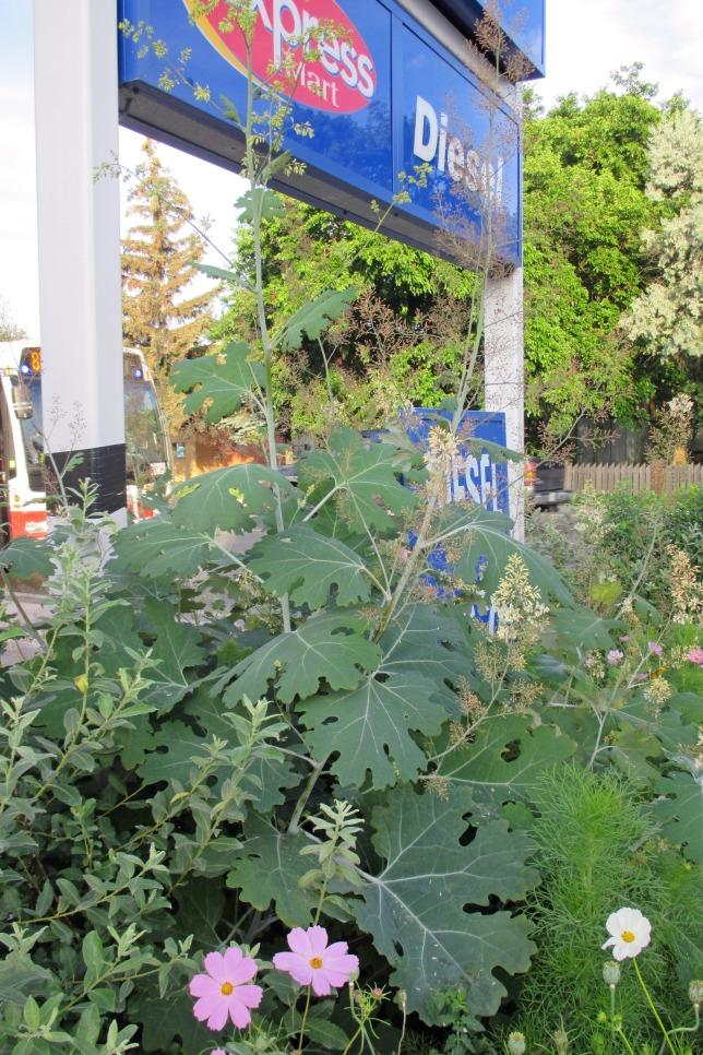 micro garden - Plume Poppy