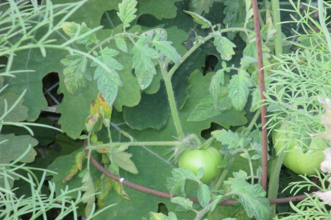 Micro garden tomato