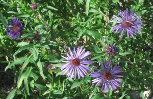 New England Aster Aug 27 2017