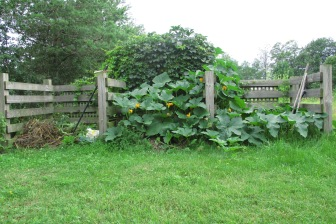 pumkin growing in compost bins