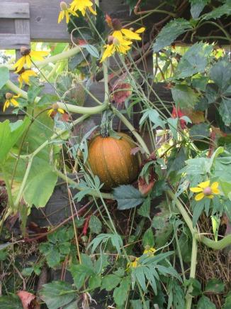 pumkin in compost Aug 19 2017