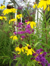 Rudbeckia & Veronica (Ironweed)