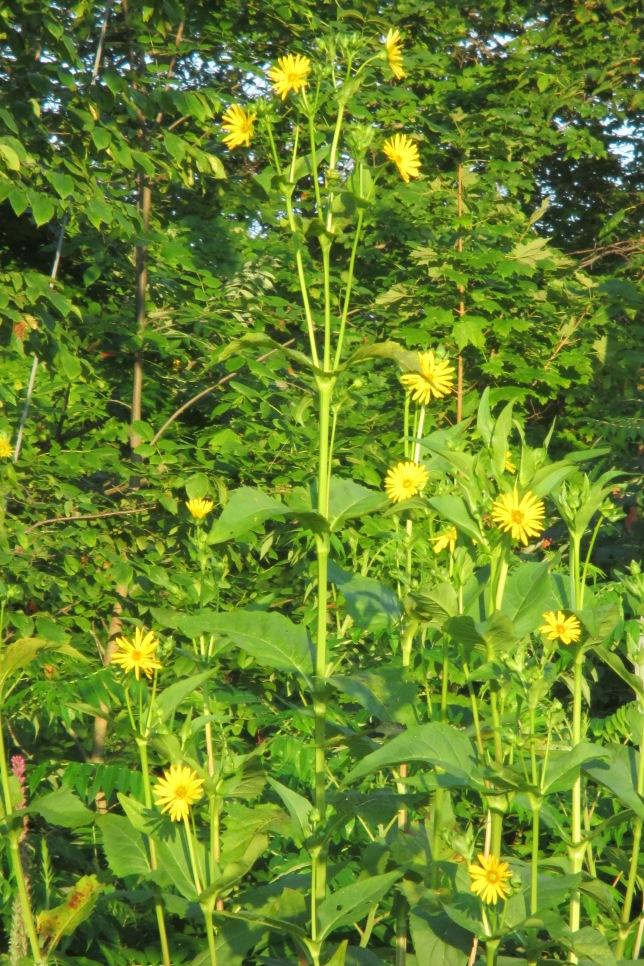 Silphium perfoliatum July 29 2017