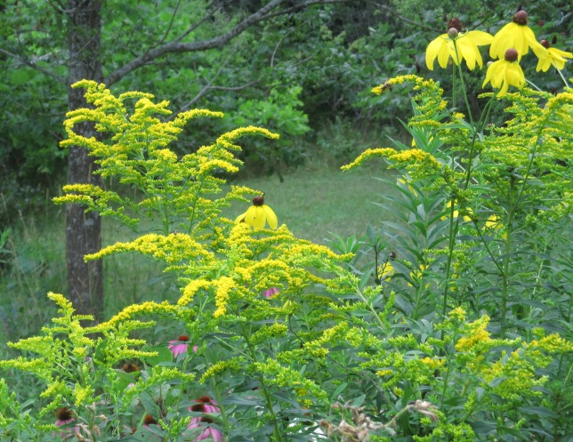 Solidago, Goldenrod