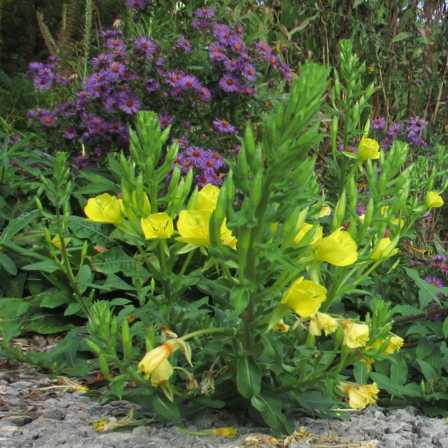 Evening Primrose & New Englanfd Aster Sept 19 2017 3