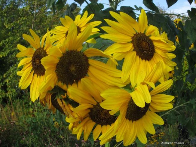 fish eye sunflower