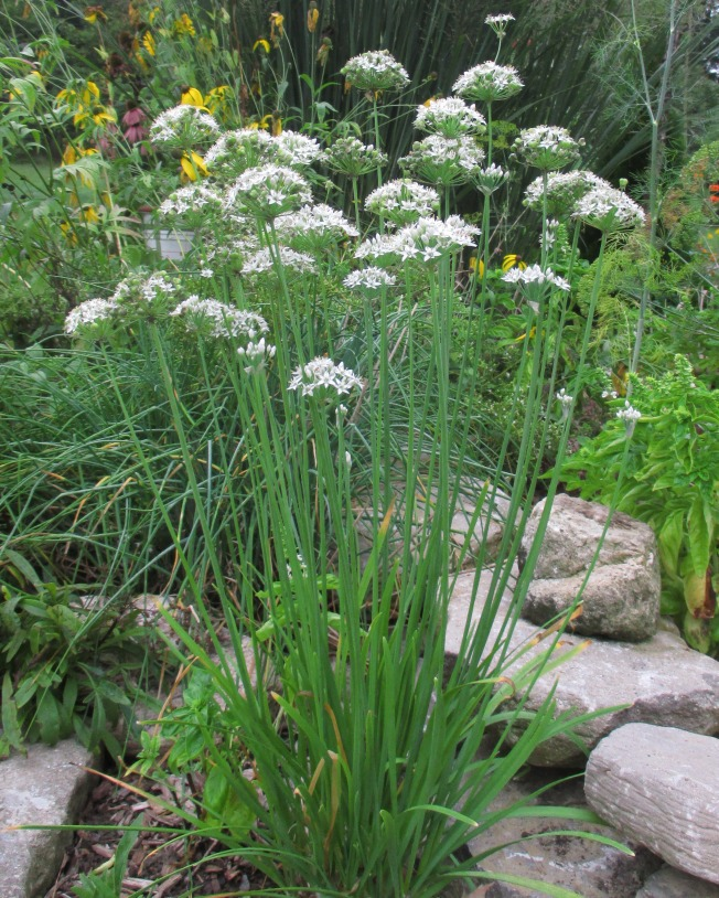 Garlic Chives Sept 20 2017