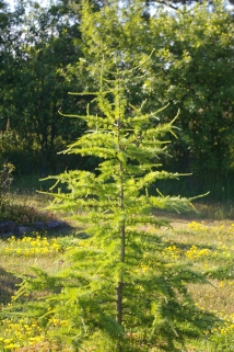 Larch July 2008