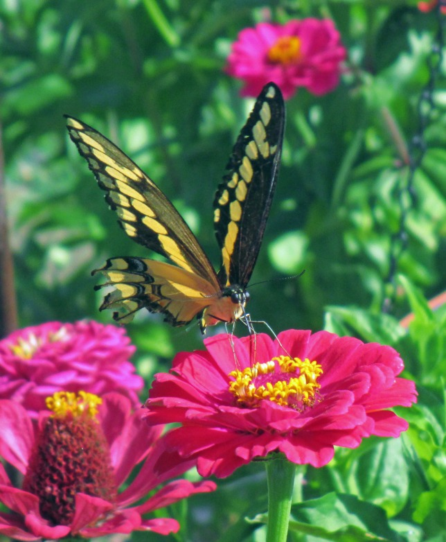 Swallowtale on Zinnia Aug 27 2017