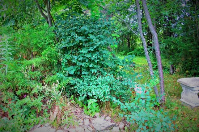 1 Symphoricarpus albus Snowberry July 22 2017 a (2)
