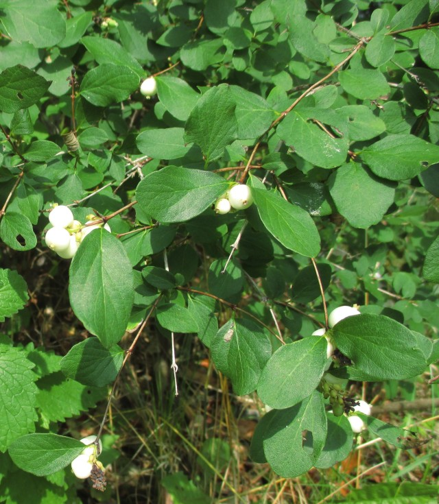 3 Snowberry Sept 5 2017 2