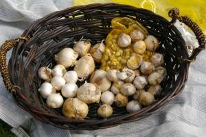 Allium bubs