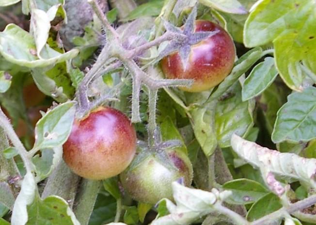 Amethyst Jewel cherr tomato ripe