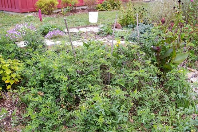 Amethyst Jewel cherry tomato plant