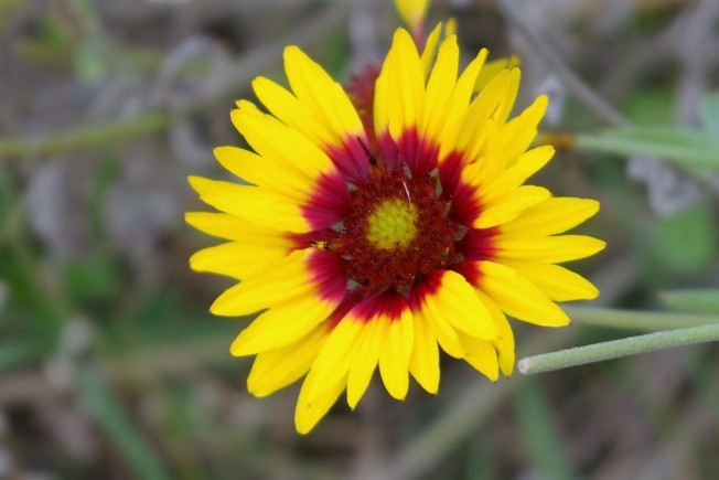 Blanket Flower October 27 2017