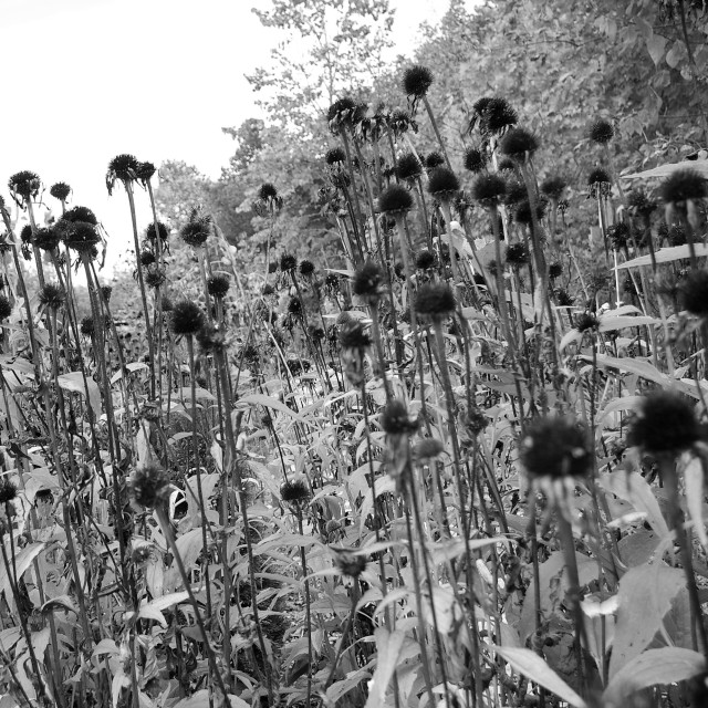 Echinacea Seed heads Oct 11 2017 a