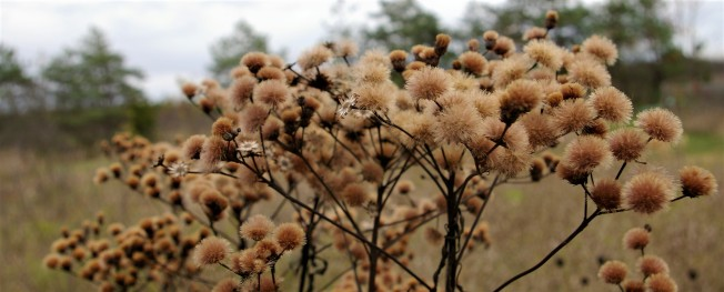 Ironweed seedhead Oct 11 2017 b