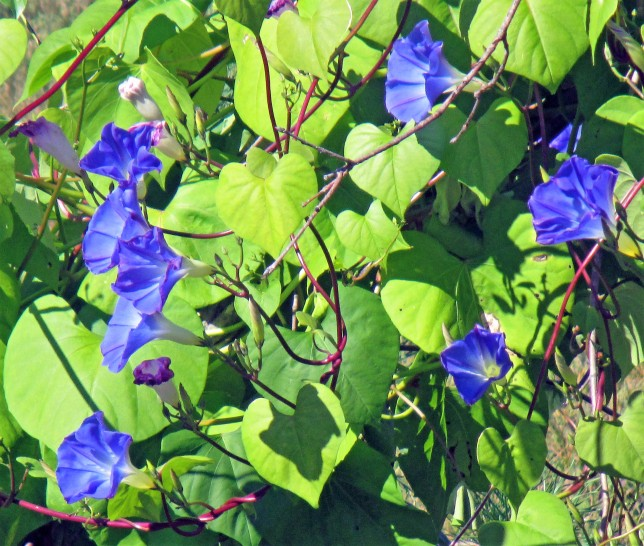 Oct 1 2017 Morning Glory flowrers!