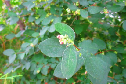 Snowberry July 22 1