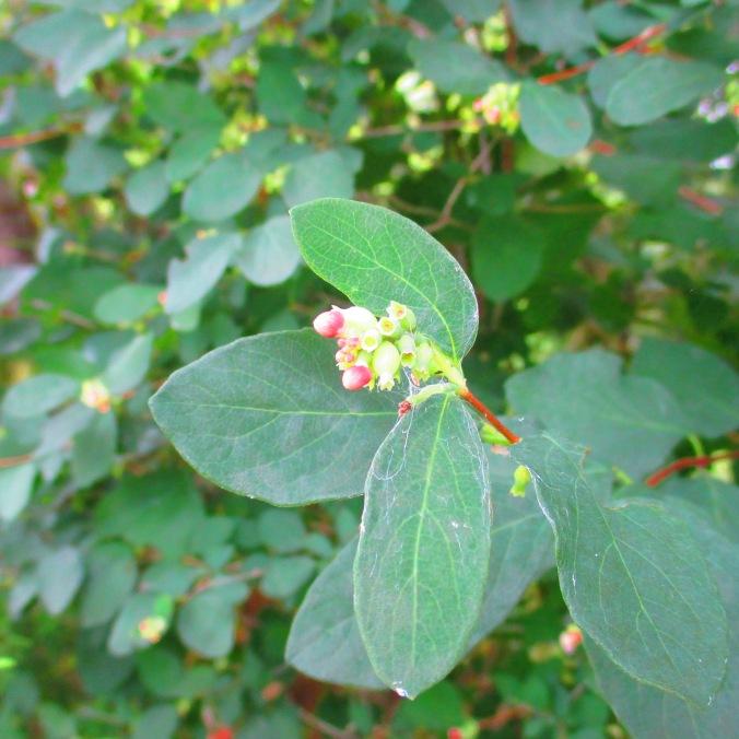 Snowberry July 22 1