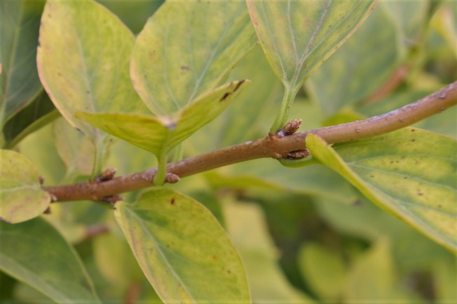 Forsythia flower bud Oct 27 2017