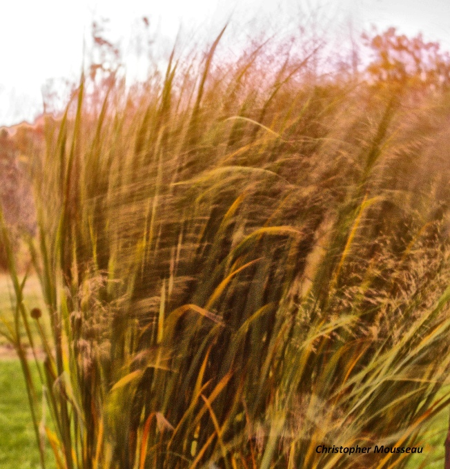 Grasses in the Wind Oct 28 2017