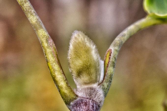 Magnolia Bud November 4 2017