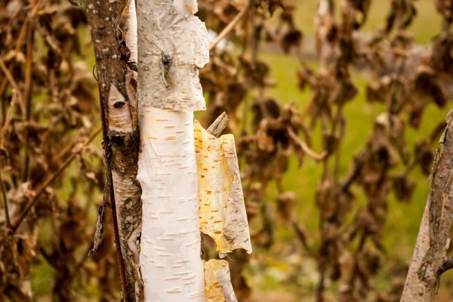 Paper Birch November