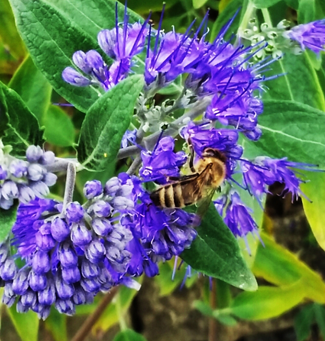 bee on Caryopteris x clandonensis, Sept 6 2017