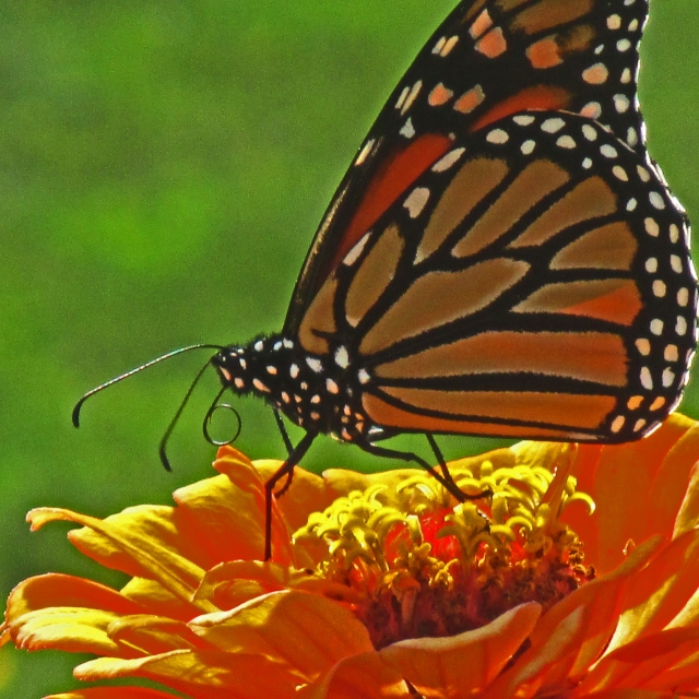 Monarch on Zinnia Sept 11 2017 1