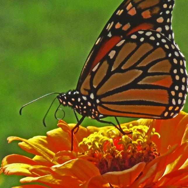 Monarch on Zinnia Sept 11 2017 1