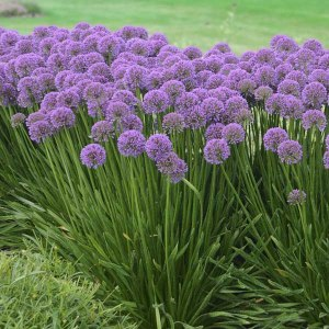 Allium-millenium-Ornamental-Onion1