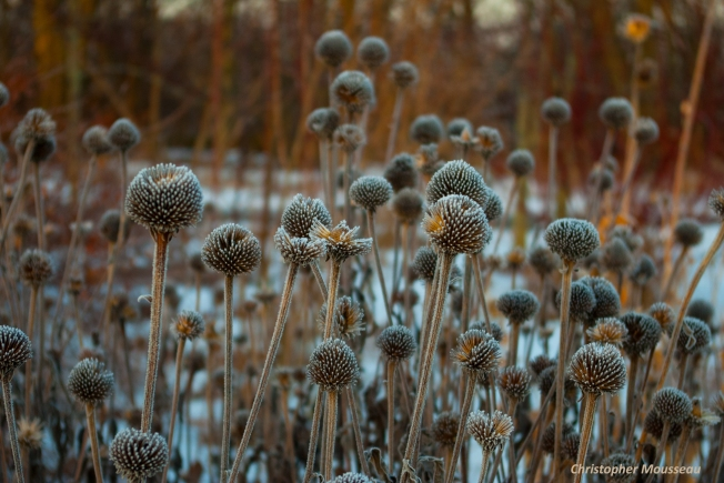 Echinacea purpurea frosty seedheads January 28 2018
