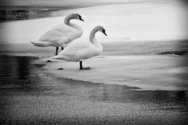 Swans in Wellingtin Harbour Jan 18 2014