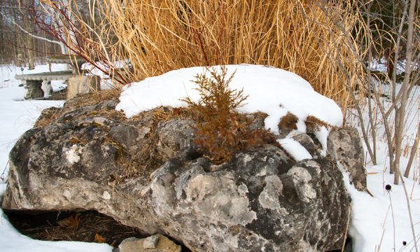 dwarf conifers on limestone boulder February 17 2018